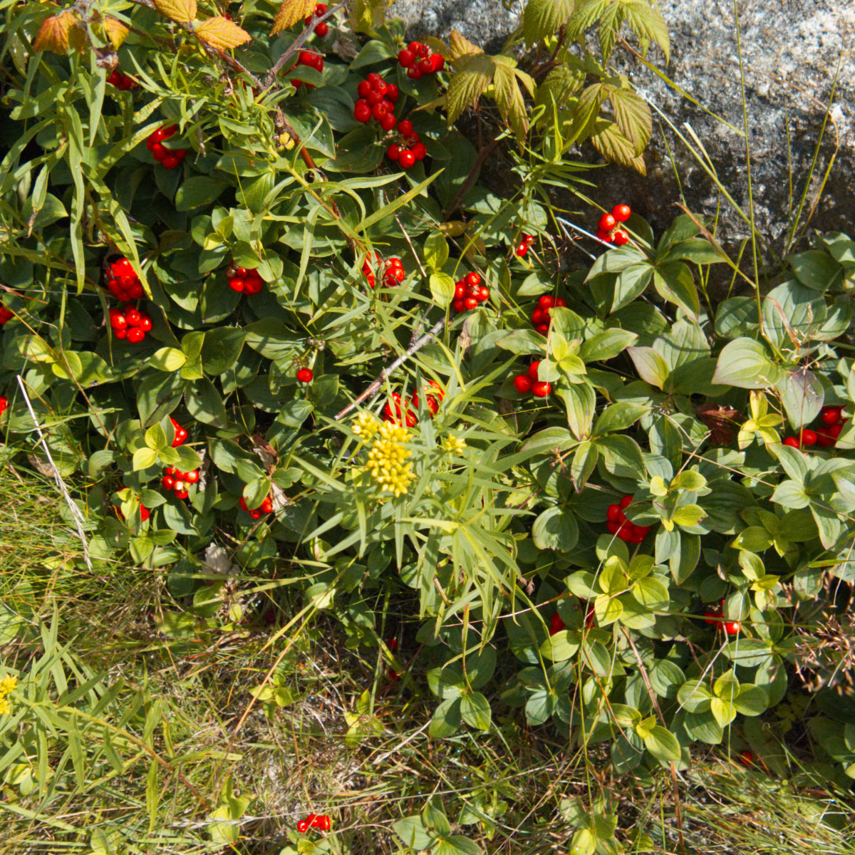 Saddleback-Redberries-20180811