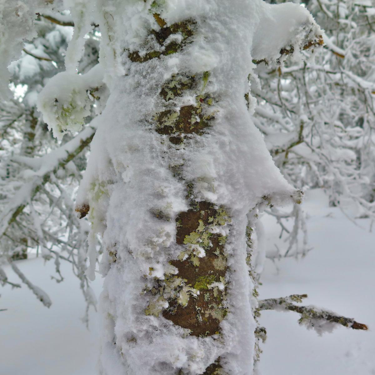 Waumbek-Snowy-Bark-20190202