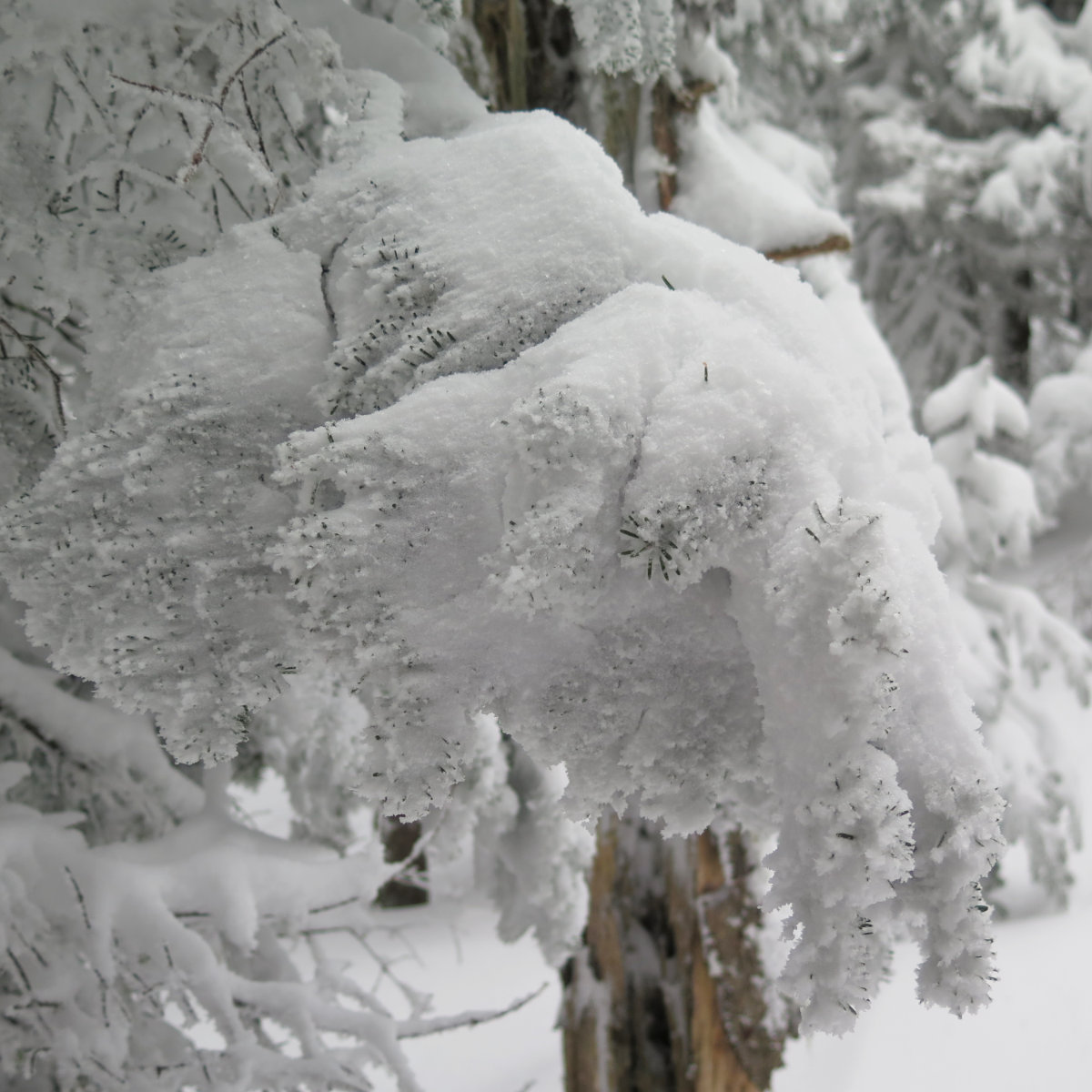 Waumbek-Snowy-Branch-20190202