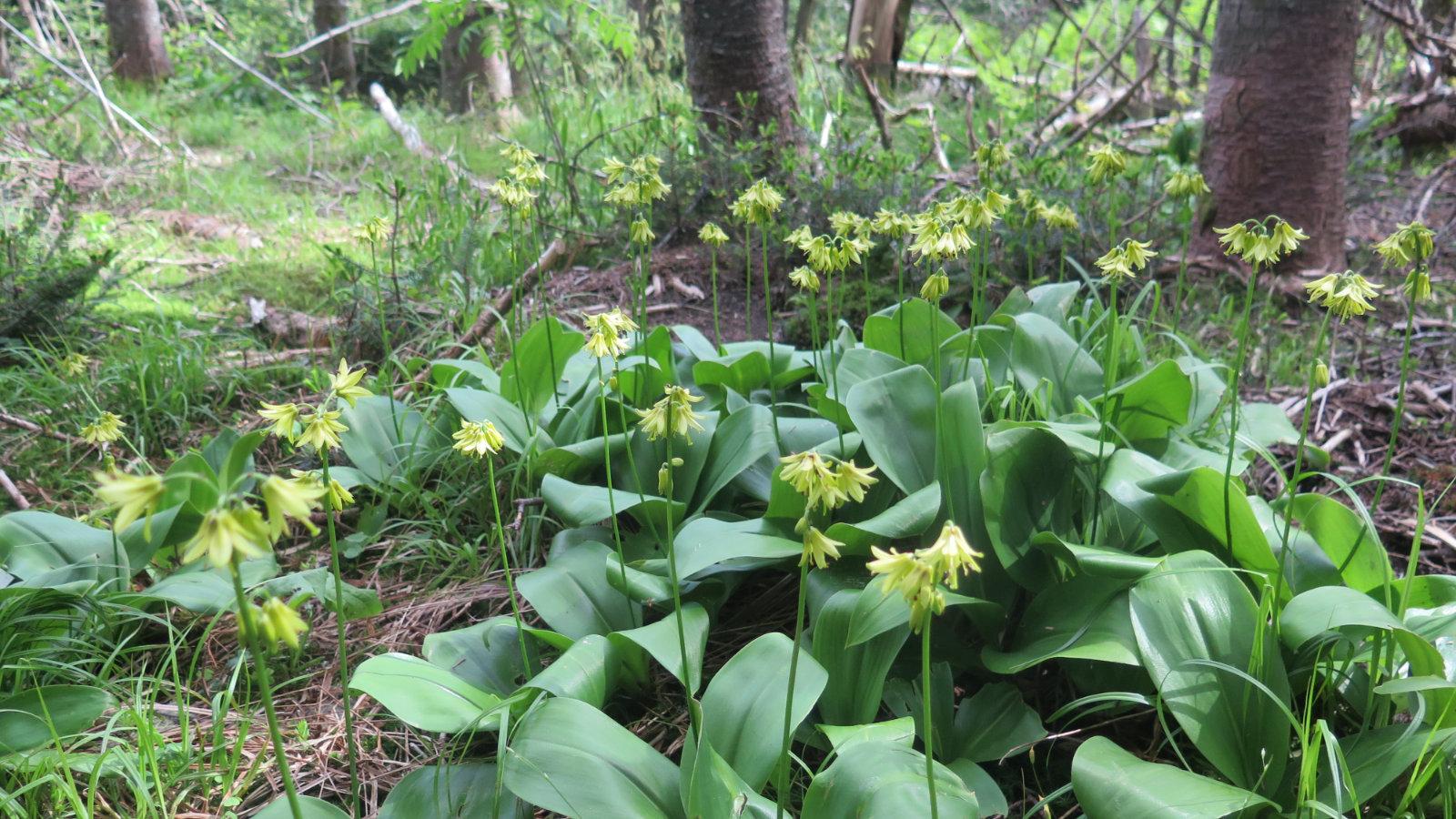 Moosilauke-Trout-Lilies-20190627