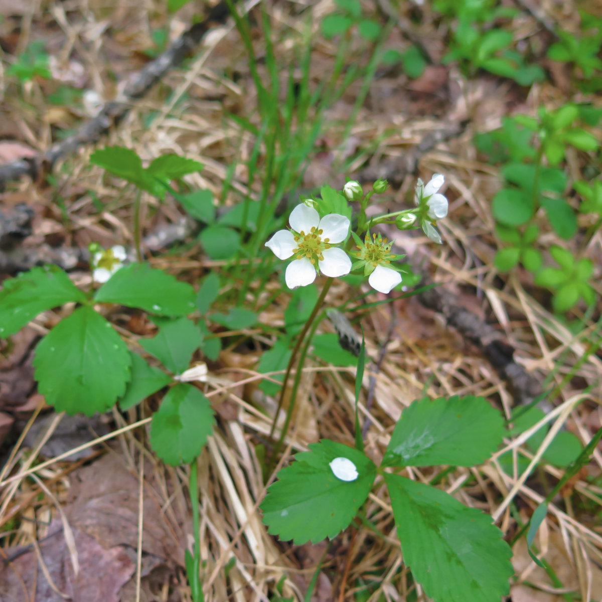 Common Strawberry found at trailside on Sandwich Mountain, White Mountain National Forest, New Hampshire.
