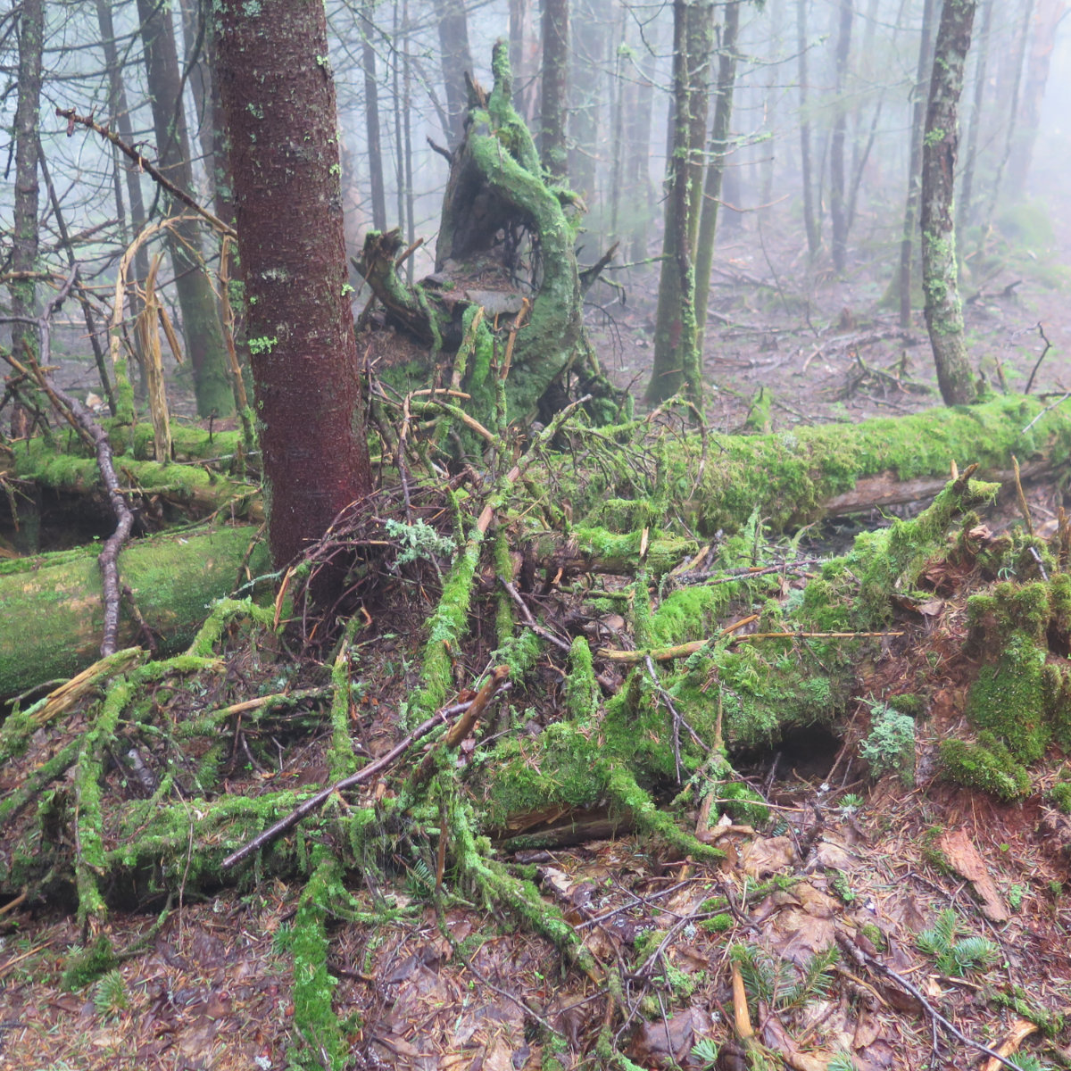 Moss covered tree trunks at trailside on Sandwich Mountain, White Mountain National Forest, New Hampshire.