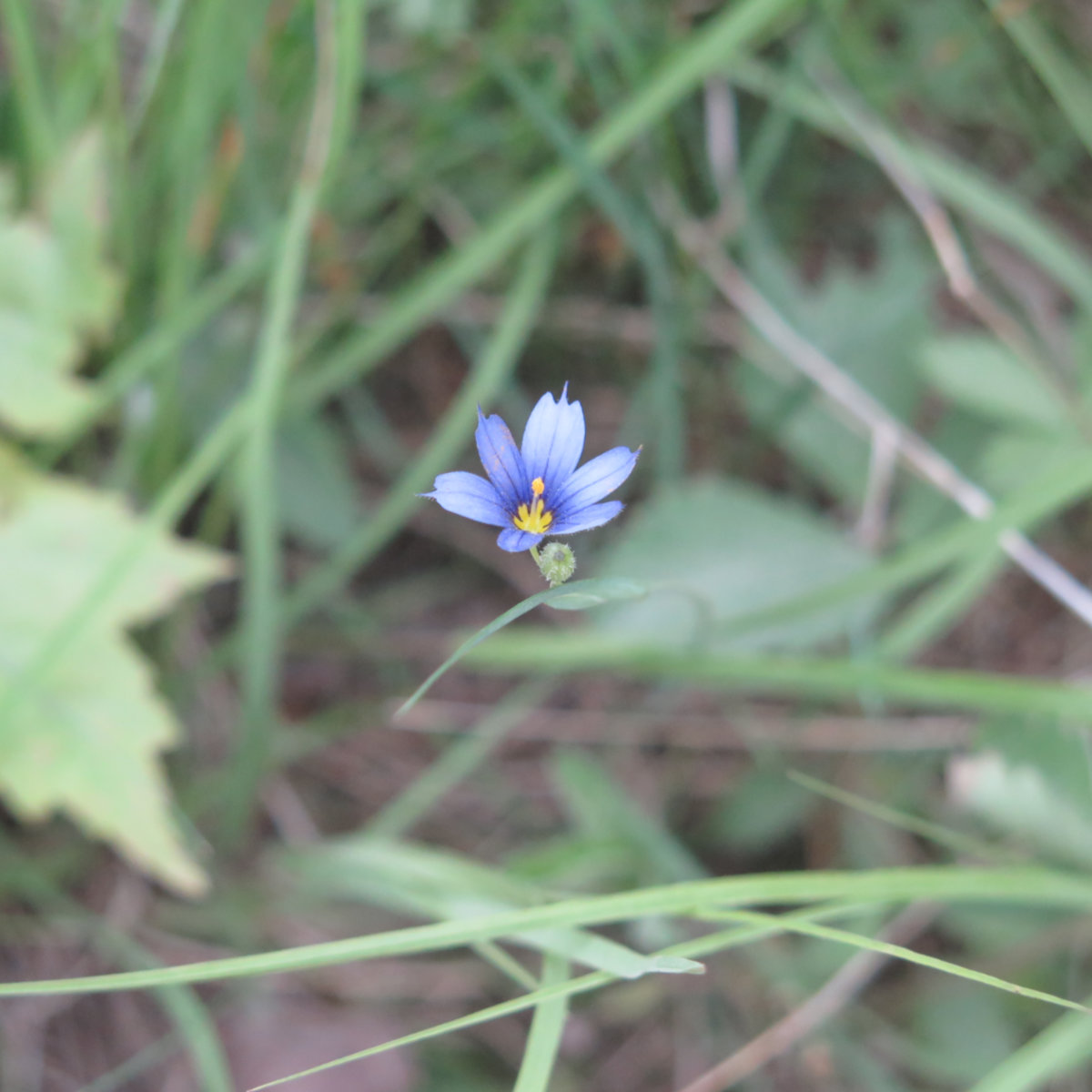 Blue-Eyed-Grass-BSP-20190705