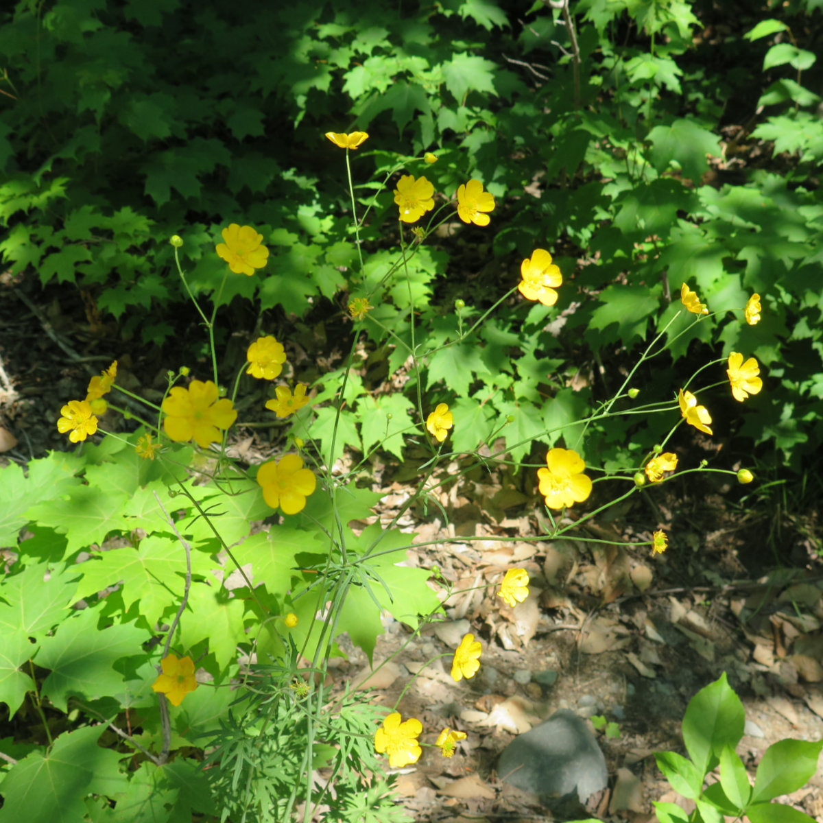 Cinquefoil-South-Turner-BSP-20190705