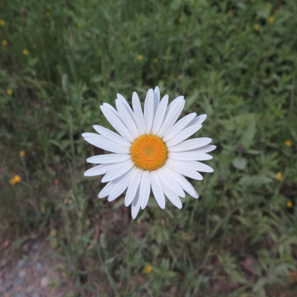 Daisy-Roaring-Brook-BSP-20190705