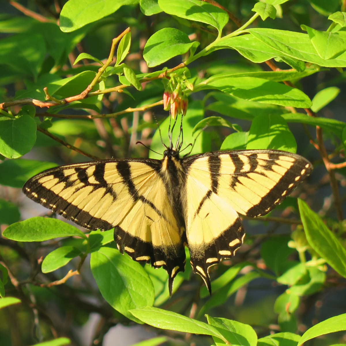 Eastern-Tiger-Swallowtail-BSP-20190703