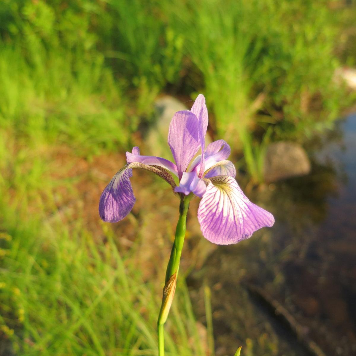 Iris-Prismatica-Grassy-Pond-BSP-20190704