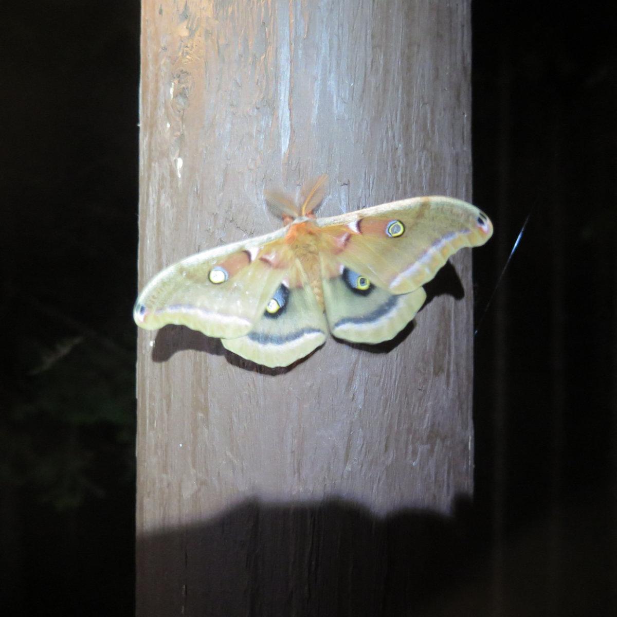 Polyphemus-Moth-BSP-20190703