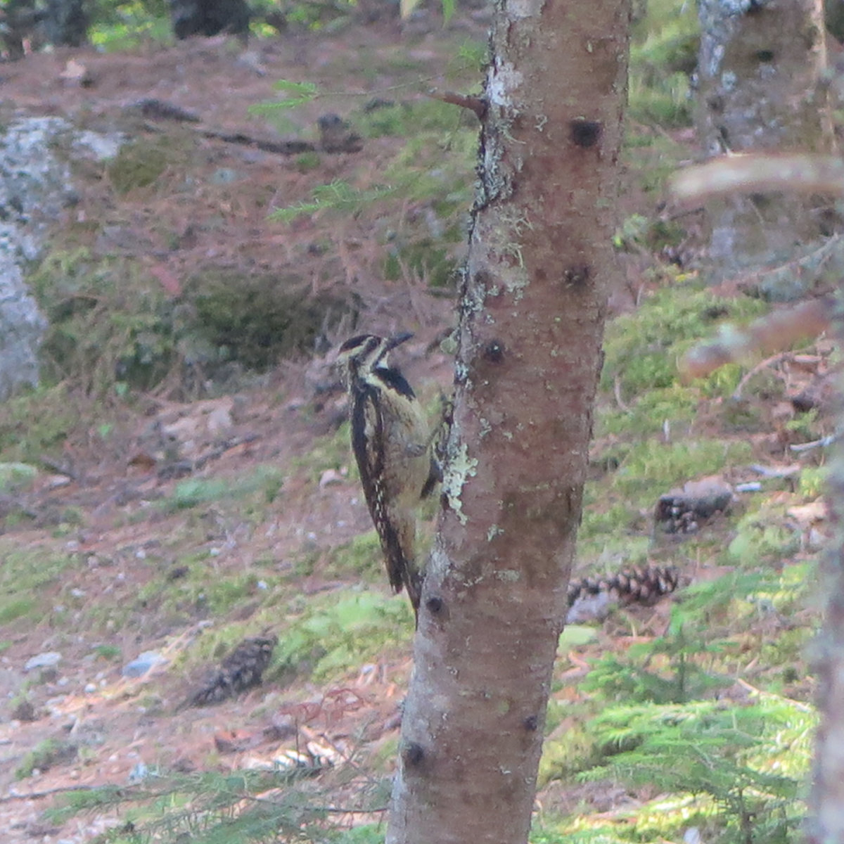 A yellow bellied sapsucker (a member of the woodpecker family) looking for dinner. Near Daicey Pond.