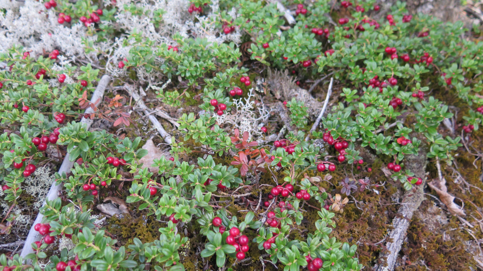 Mountain-Cranberry-Twinway-20190907