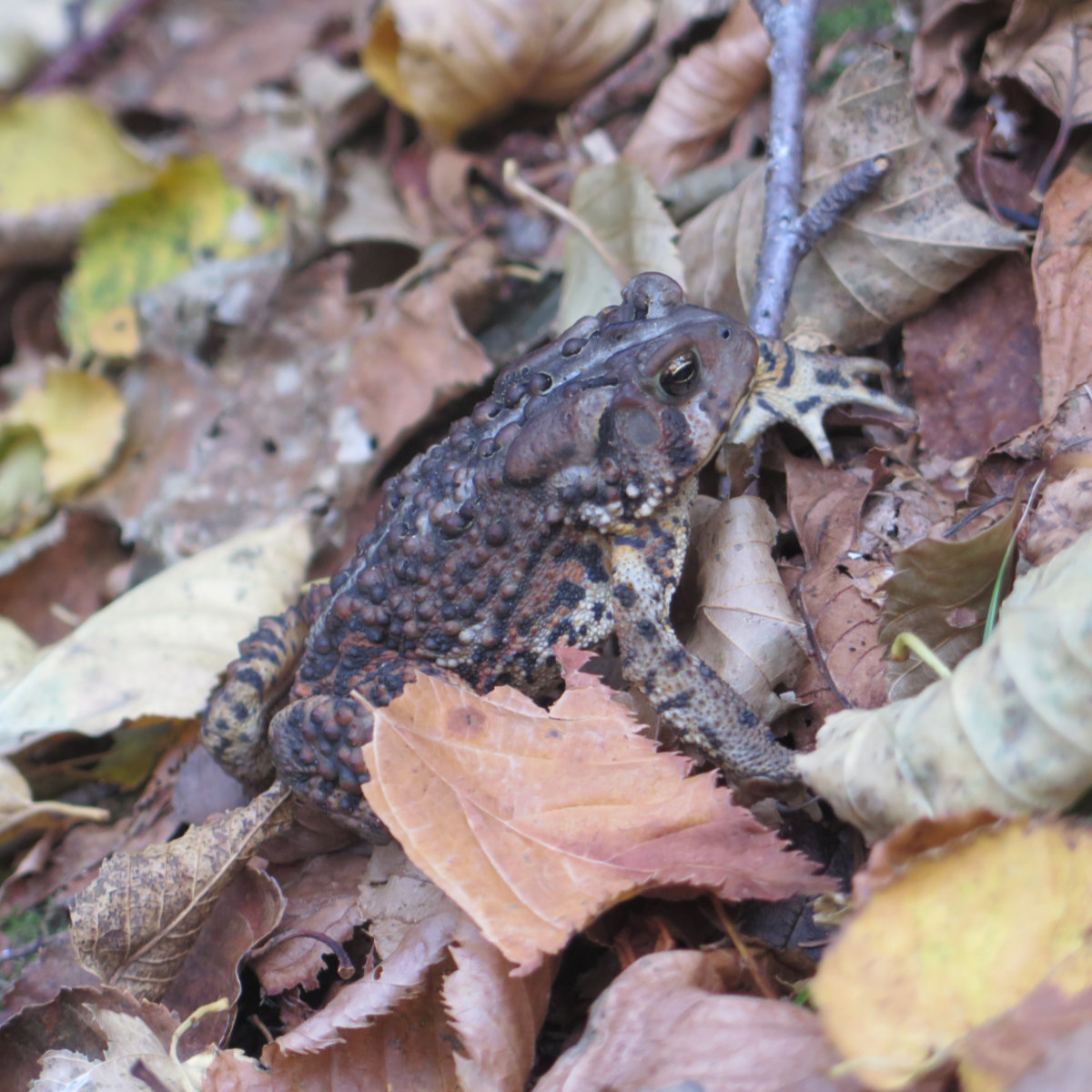 Toad-Mt-Adams-20191012