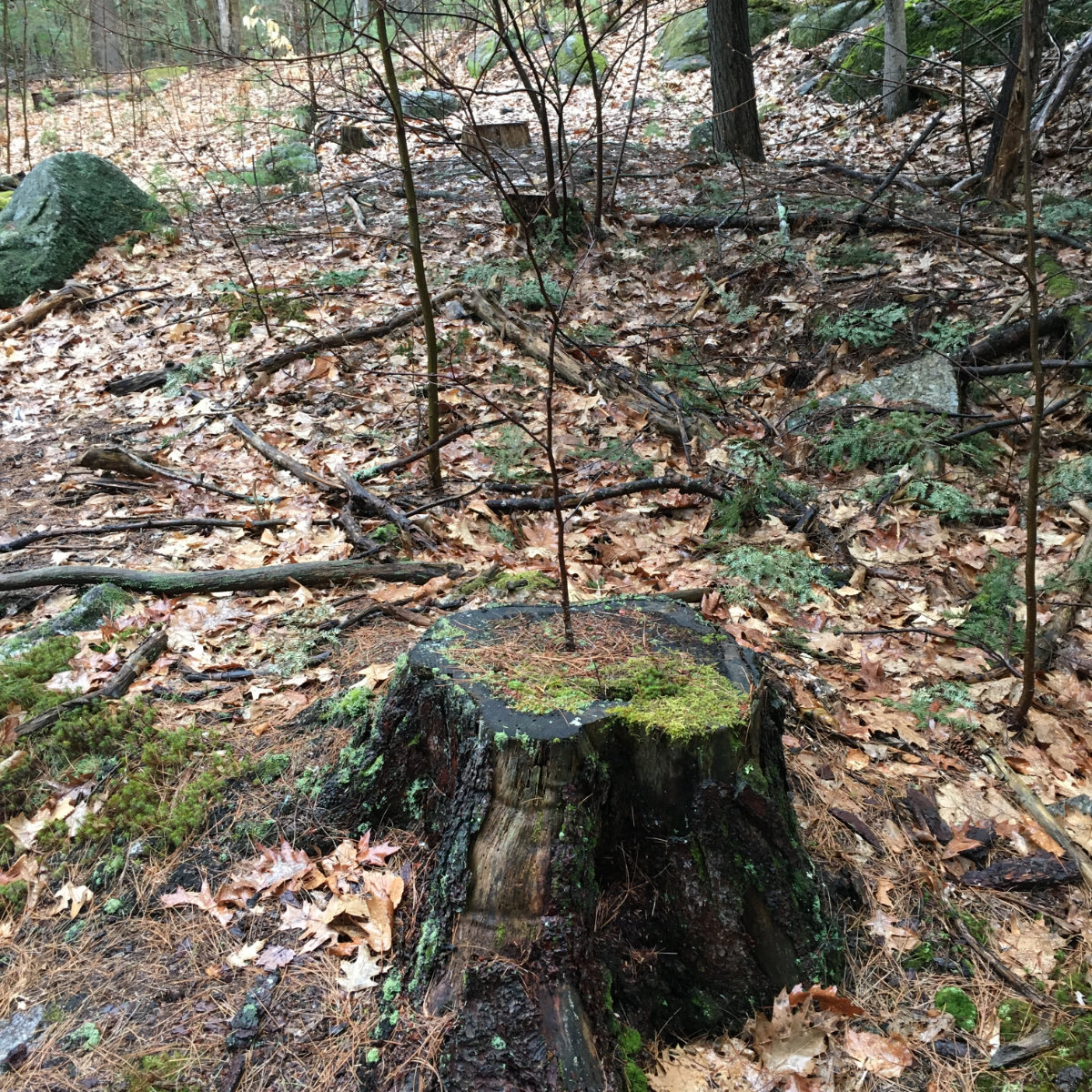 2-Tree-in-a-Stump-Fox-Research-20200409
